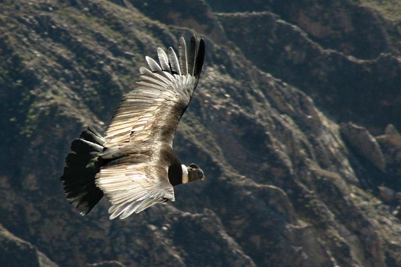 And Kondoru diye bilinen bu kuş, bu şarkıda bahsi geçen kuş olup, çok yırtıcıdır ve aynı zamanda bir çok Latin Amerika ülkesinin de sembolüdür.